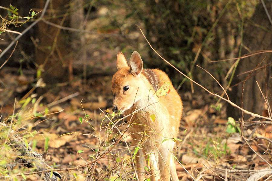 Bandhavgarh-Deer.jpg