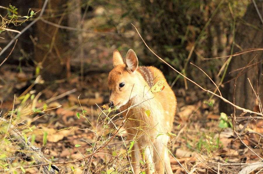 Bandhavgarh-Deer.