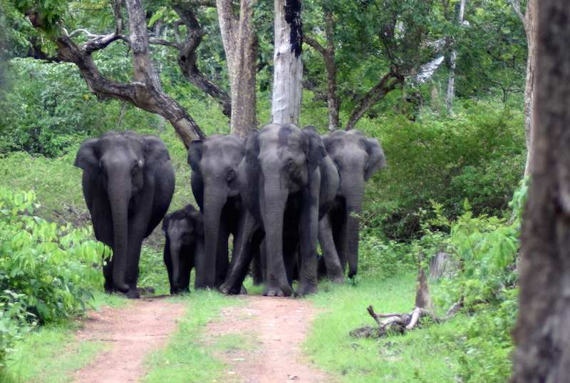 Bandipur-National-Park-Elephants.