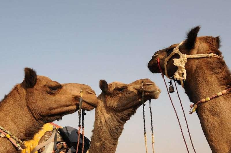 Camel-Safari-in-Jaisalmer.