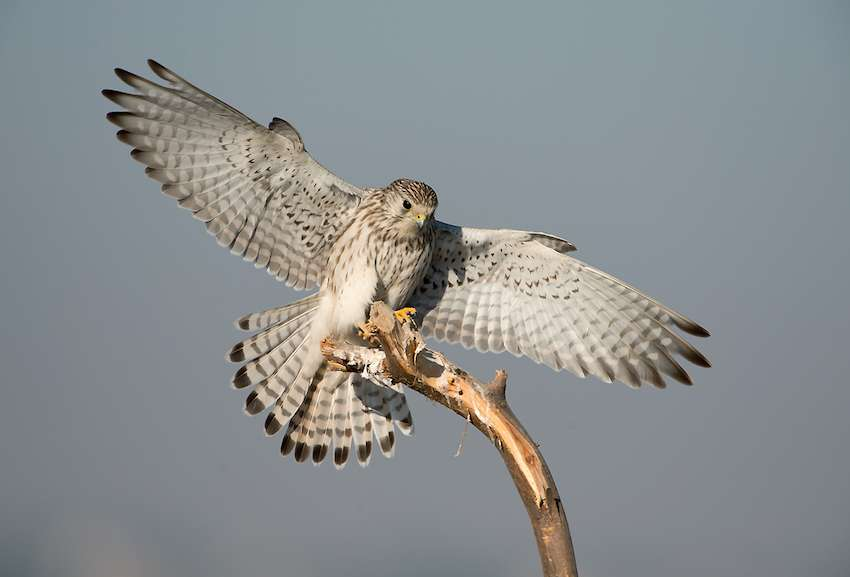 Common Kestrel in tal chappar Sanctuary.jpg