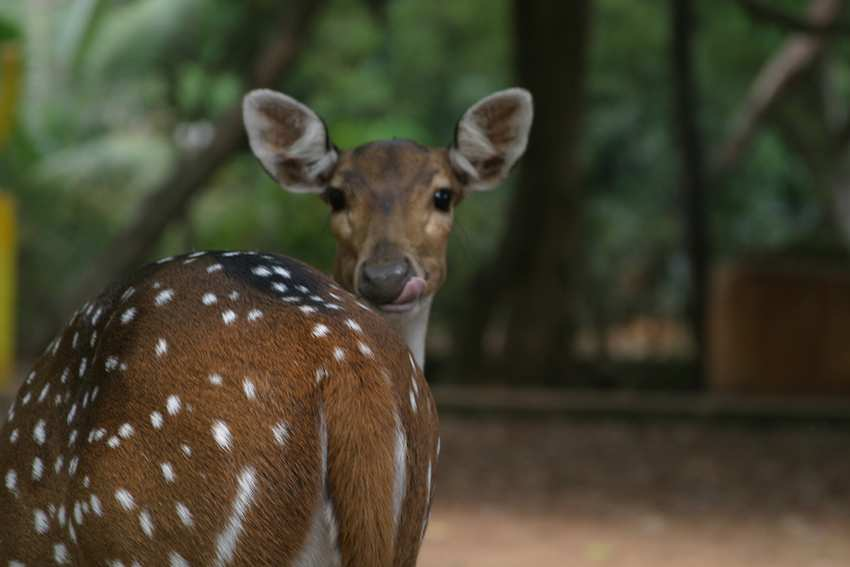 Deer-in-Guindy-National-Park.jpg