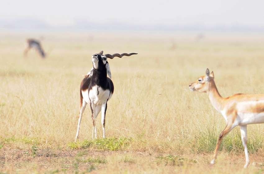 deers-at-talchappar-sanctuary.