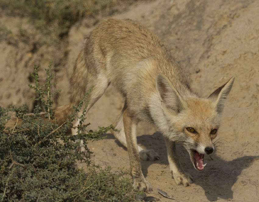 Desert Fox in talchappar Sanctuary.jpg