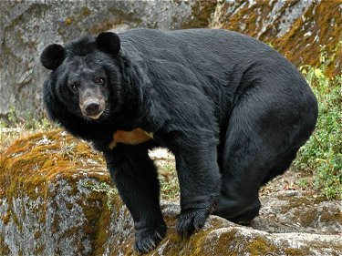 himalayan-bear.jpg