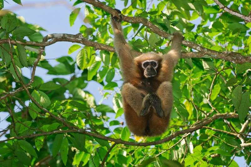 Hoolock-Gibbon-in-Hoollongapar-Gibbon-Wildlife-Sanctuary.