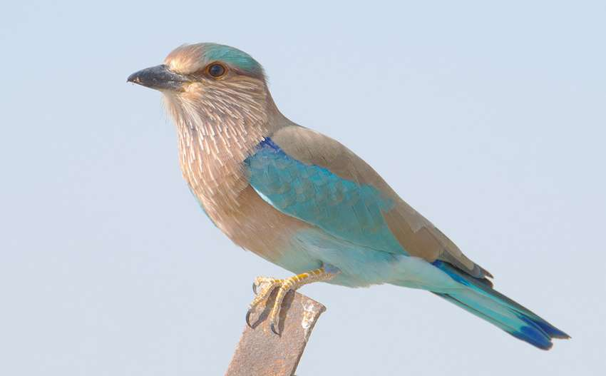 Indian Roller in talchappar Sanctuary.