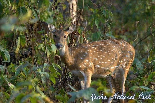 Kanha-national-park.jpg