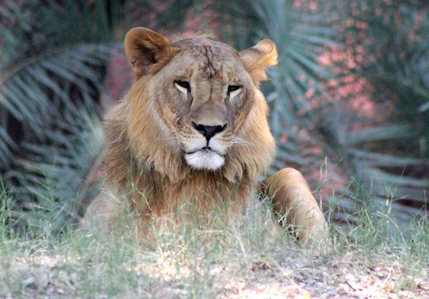 Lion in Nehru Zoological Park.jpg
