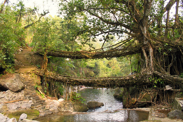 Living Root Bridges - Cherrapunjee.jpg