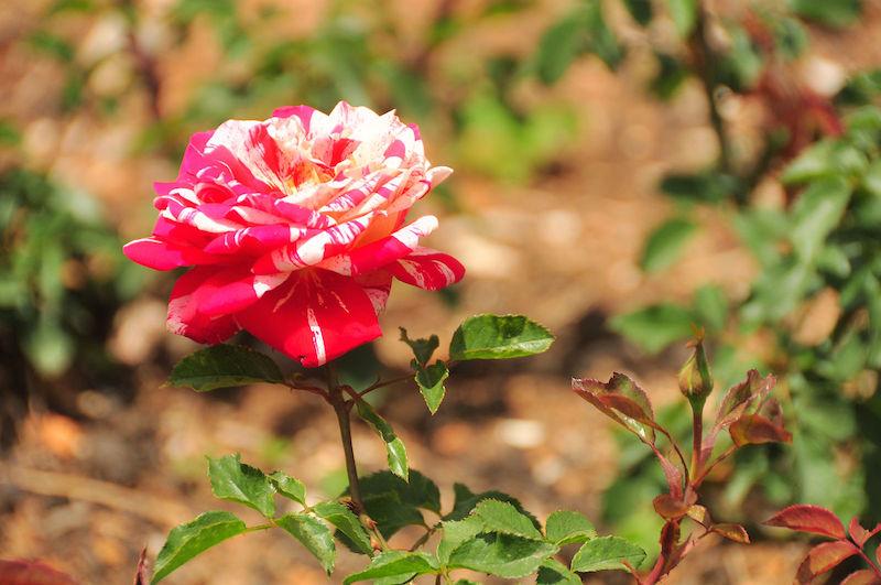 Ooty-Botanical-Gardens.jpg