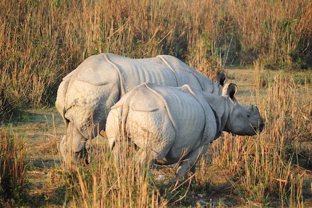 rhino-assam-kaziranga.