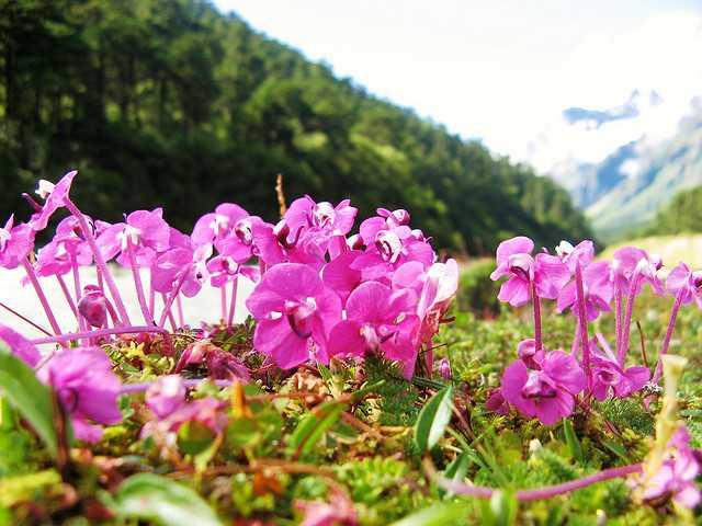 sikkim-flowers.jpg