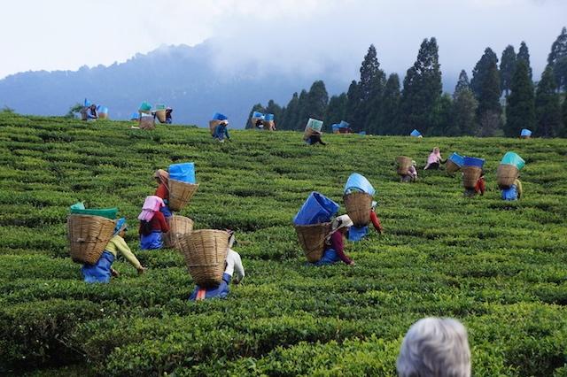 tea-gardens-assam.