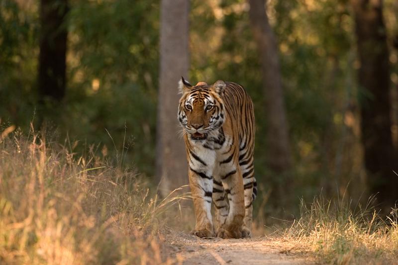 Tiger in Kanha National Park.jpg