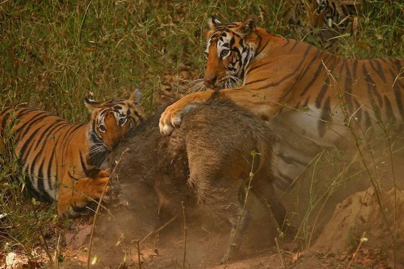 Tigers-Kanha-Tiger-Reserve.jpg
