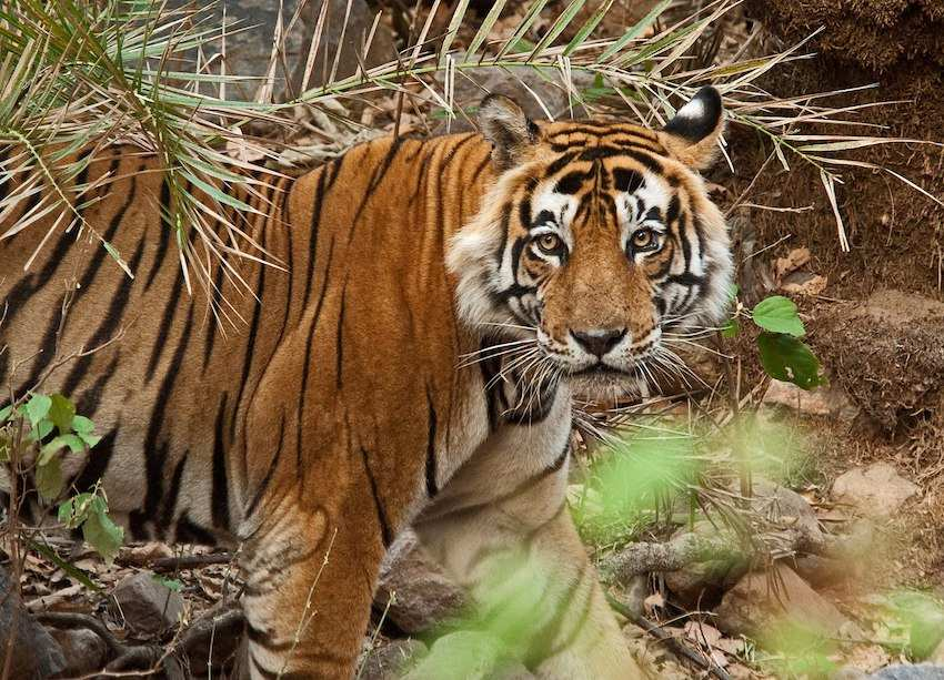 Tigress-in-Sariska-National-Park.