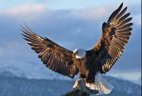 Mohit Eagle