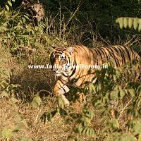 Tiger Hunting At Ranthambore