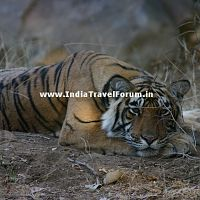 Tiger Resting At Ranthambore