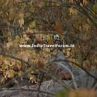 Tigeress At Ranthambore