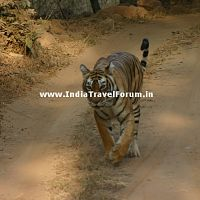 Tigress At Ranthambore Dirt Track