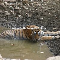 Tigress Cooling Down In Water