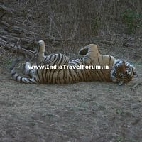 Tigress Playful At Ranthambore