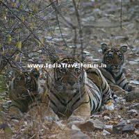 Tigress With Two Cubs At Ranthambore