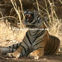 Tigress Yawns At Ranthambore