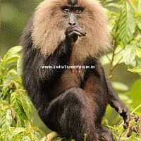 A Lion-tailed Macaque