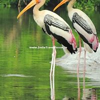 Painted Stork Couples