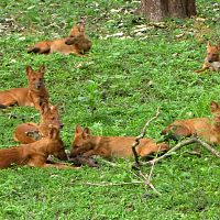 A Pack Of Dholes