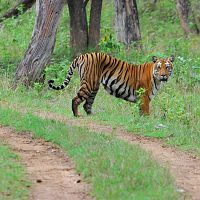 Tiger Safari At Bandipur