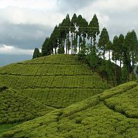 Mirik Tea Plantations - Image Courtesy @Wikipedia