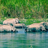 Elephant Family At Kaziranga - Image Courtesy @Wiki
