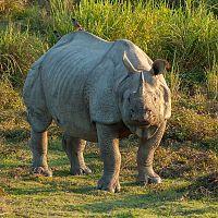 Rhino At Kaziranga - Image Courtesy @Wiki