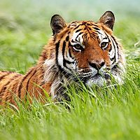 Difficult To Spot Tiger In Grassland - Image Credit @ Kaziranga Official Website