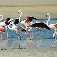 Greater Flamingos At Pulicat Lake - Image Credit @ IMGUR