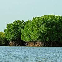 Pichavaram Mangrove - Image Credit Wiki