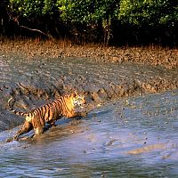 Tiger at Sunderbans