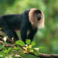 Lion-tailed Macaque - Image Credit @ Saurabh