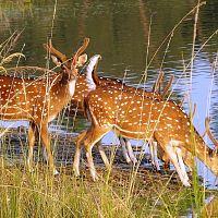 Spotted Deers - Image Credit @ Saurabh